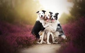 Картинка собаки, трио, друзья, боке, троица, вереск