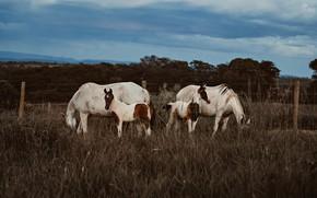 Картинка поле, лес, трава, облака, природа, конь, лошадь, две, кони, лошади, пастбище, ограждение, пара, два, четыре, …