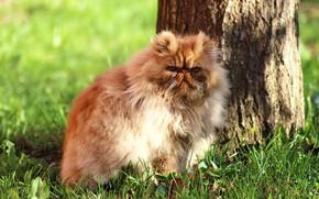 Картинка кошка, лето, трава, кот, взгляд, морда, свет, природа, поза, дерево, поляна, портрет, шерсть, пушистый, рыжий, …