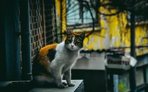 Картинка кошка, дома, сидит, трехцветная