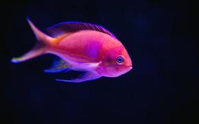 Картинка Океан, Рыба, Розовый