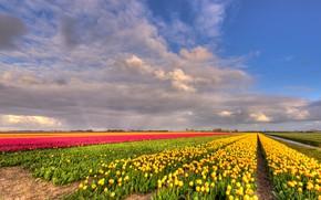 Картинка зелень, поле, облака, цветы, природа, синева, красота, позитив, весна, желтые, горизонт, тюльпаны, розовые, ярко, грядки, …