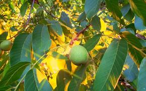 Картинка листья, солнце, вечер, орех, плоды, грецкий