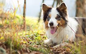 Картинка осень, язык, трава, взгляд, морда, настроение, листва, портрет, собака, щенок, светлое, бордер-колли