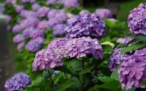 Картинка лето, листья, цветы, ветки, сад, цветение, кусты, много, сиреневые, боке, гортензия