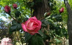 Картинка Бутоны, Розы, Roses