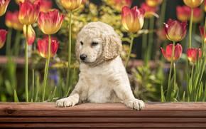 Картинка друг, собака, тюльпаны