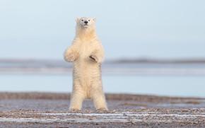 Картинка медведь, Аляска, белый медведь, стойка, полярный медведь