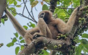 Картинка обезьяна, листья, дерево, гиббон, плоды, сидит, ветки