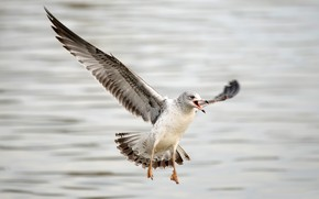 Картинка вода, фон, птица, крылья, чайка, боке