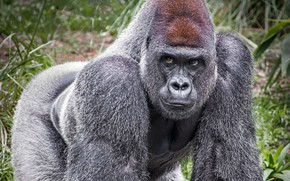 Картинка взгляд, горилла, серая шерсть