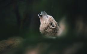 Картинка белый, морда, природа, поза, темный фон, волк, вой, боке, воет, полярный