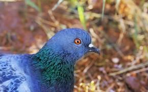 Картинка фон, птица, голубь