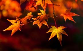 Картинка осенние, leaves, autumn, листья, colorful, клен, осень, maple
