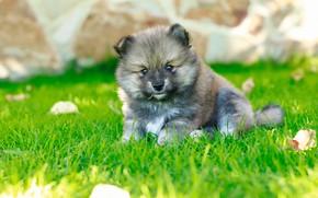 Картинка лето, трава, серый, поляна, собака, щенок, боке, шпиц