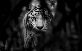 Обои кошка, тигр, зверь