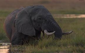 Картинка природа, фон, слон, DUELL ©