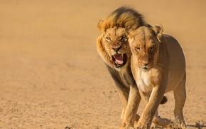 Картинка поза, лев, пара, оскал, львы, львица, морды