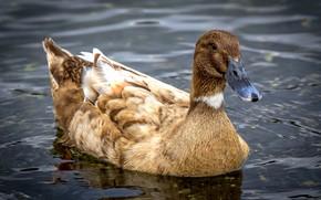 Картинка природа, птица, Duck