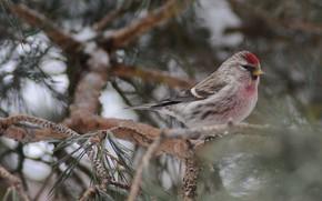 Картинка птицы, сидит на дереве, чечетка, фотоохота