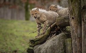 Картинка взгляд, природа, поза, камни, коряга, два, детеныши, гепарды
