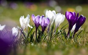 Картинка солнце, весна, лепестки, крокусы, цветение, боке