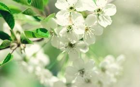 Картинка цветы, природа, весна, яблоня