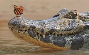 Картинка butterfly, two, crocodile, Animals, other