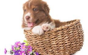 Картинка взгляд, цветы, малыш, щенок, корзинка, овчарка, Австралийская