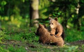 Картинка зелень, лес, лето, трава, взгляд, деревья, поза, медведь, медведи, пара, медвежонок, малыши, медвежата, парочка, дуэт, …
