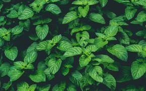 Картинка Nature, Green, Wallpaper, Background, Macro, Mint, Plant