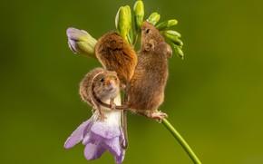 Картинка цветок, мыши, трио, мышки, мышь-малютка, мышь-полевка