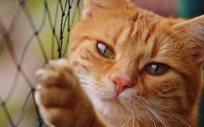 Картинка кошка, глаза, кот, взгляд, морда, сетка, лапа, портрет, рыжий, рыжая