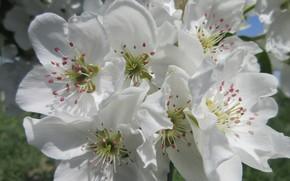 Картинка цветы, груша, весна 2018, Mamala ©