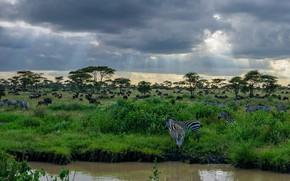 Картинка зебра, Африка, Танзания, Национальный парк Серенгети