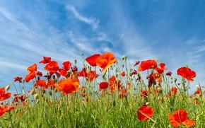 Картинка зелень, поле, лето, небо, облака, цветы, природа, синева, голубое, мак, маки, красота, позитив, контраст, красные, …