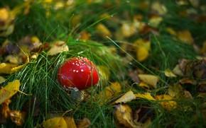 Картинка лес, трава, гриб, мухомор