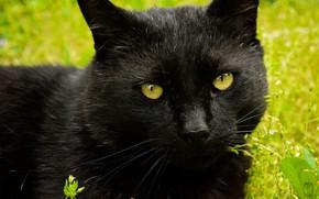 Картинка кошка, кот, взгляд, морда, крупный план, черный, портрет, зеленый фон, котяра, котэ, зеленоглазый