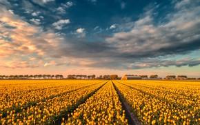 Картинка поле, небо, облака, свет, деревья, пейзаж, цветы, природа, полосы, синева, весна, вечер, желтые, горизонт, тюльпаны, …
