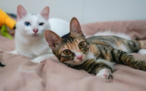 Картинка кошка, кот, взгляд, морда, кошки, поза, отдых, коты, две, кровать, пара, постель, одеяло, белая, дуэт, …