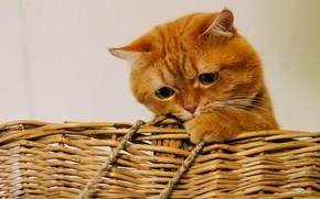 Картинка кот, корзина, рыжий, грустный