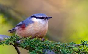 Картинка природа, птица, ветка, поползень