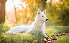 Обои осень, трава, желтый, природа, фон, яблоки, собака, сад, профиль, белая, швейцарская овчарка