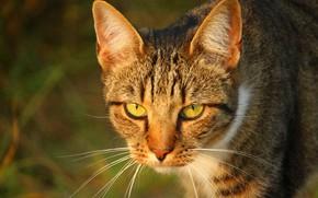 Картинка кошка, полосатая, размытый фон