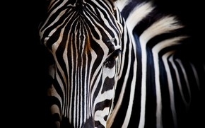 Картинка white, black, eye, zebra