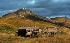 Картинка холмы, овцы, пастбище, ягнята