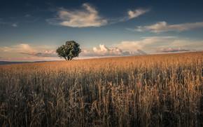 Картинка поле, лето, дерево, колосья