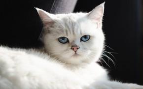 Картинка кошка, белый, взгляд, свет, поза, котенок, портрет, милый, лежит, черный фон, голубые глаза, мордашка