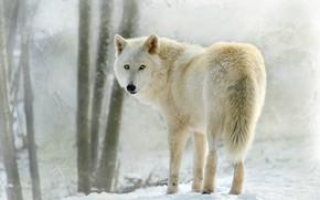 Картинка белый, снег, волк