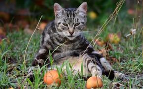 Картинка кошка, кот, взгляд, поза, серый, яблоки, сад, сидит, полосатый